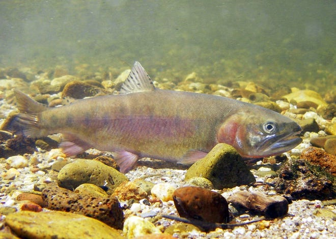 This undated photo provided by the California Department of Fish and Wildlife shows a Paiute cutthroat trout.