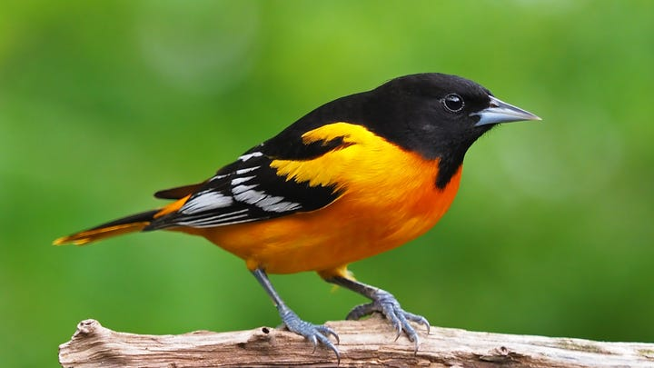A Baltimore oriole. The study found that the U.S. and Canada have lost 1 in 4 breeding birds since 1970, which is 2.9 billion birds gone in less than a human lifetime.