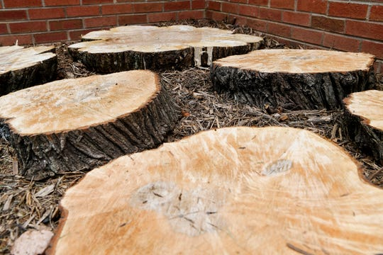 Slices of elder trees that were removed from the YWCA property in Asheville.