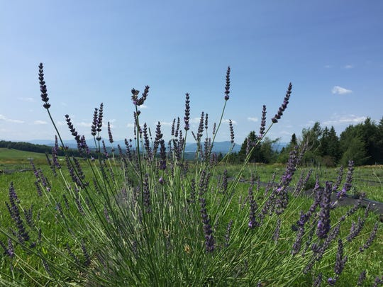 Lavender grows at Lavender Essentials of Vermont on July 26, 2019.