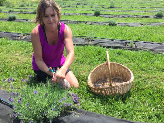 Michele Judd harvests lavender at Lavender Essentials of Vermont on July 26, 2019.