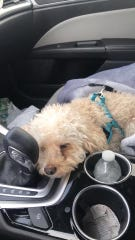 Toby Cook, a poodle shown in this photo, was found with an apparent bullet wound to his head on Tuesday in Maple Shade. The beloved family pet had to be humanely euthanized. Police have launched an animal cruelty investigation.