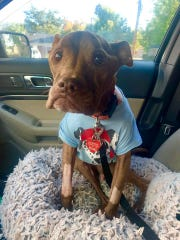 Aladdin, a popular SJ pet therapy dog, is shown here a week after open heart surgery where a tumor was also discovered. Strangers from around the world have donated to pay his medical bills.