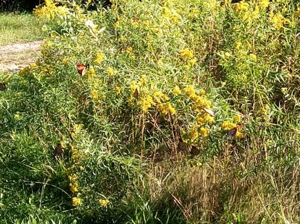 Look closely at this photo, how many monarch butterflies can you find?