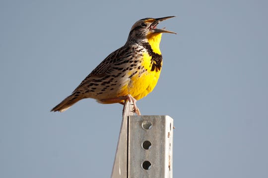 Western meadowlark in the Rocky Mountain Arsenal National Wildlife Refuge in Commerce City, Colo. According to a study released on Thursday, Sept. 19, 2019, North America's skies are lonelier and quieter as nearly 3 billion fewer wild birds soar in the air than in 1970.