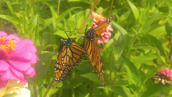A pair of monarch butterflies mating in mid-September.