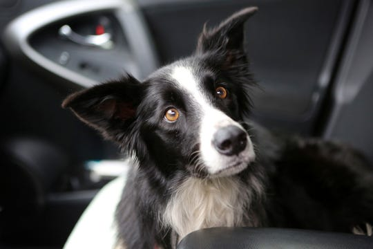 In this photo taken Tuesday, Sept. 17, 2019, is Katie, a 7-year-old border collie, that was missing for 57 days and had lost 12 pounds in Kalispell, Montana. A local veterinarian treated Katie and she is expected to make a full recovery. (Mackenzie Reiss/Daily Inter Lake via AP)
