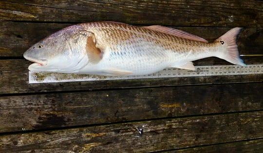 From nose to tail, Vu Duong's red drum measured 41 inches, a rare catch, according to the North Carolina Department of Natural Resources.