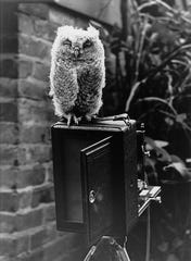 This image of a young screech owl was taken by Verne Morton in 1912. A self-taught naturalist, Morton carefully documented the wildlife he saw in early 20th century Groton.