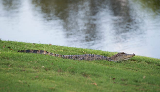 A young alligator rests alongside a pond at hole 8 during the Sanderson Farms Championship at the Country Club of Jackson Wednesday, Sept. 18, 2019.