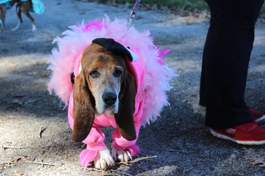 Howl-o-ween at the University of Tennessee Gardens includes a canine costume contest and this bassett hound looks quite dashing.