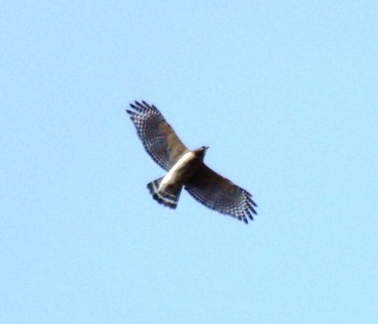 A red-shouldered hawk soaring above Woodland Dunes in Two Rivers.