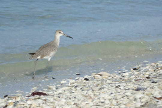 A willet looks for food in Tigertail Beach in Marco Island on Sept. 11, 2019.