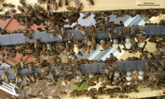Tulasi Honey raises queens to create new hives and, consequently, more honey.