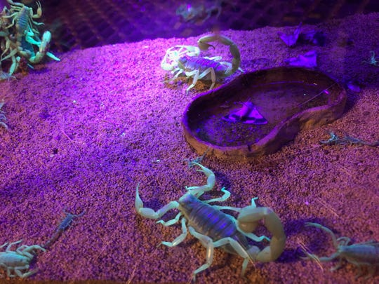 In this Aug. 18, 2019 photo, scorpions wander in a tank after being captured in Lost Dutchman State Park. Feared, admired and loathed, scorpions have roamed the earth for 450 million years. An interesting way to learn about the critters, which glow under black lights, is to go on scorpion hunts in Southwest states like Arizona and New Mexico. Wear closed-toed shoes and pants, bring black lights and prepare to be awed.