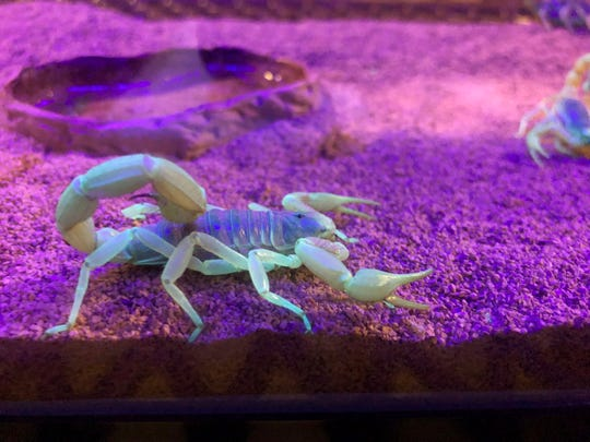 In this Aug. 18, 2019 photo, a scorpion appears in a tank after being captured in Lost Dutchman State Park. Feared, admired and loathed, scorpions have roamed the earth for 450 million years. An interesting way to learn about the critters, which glow under black lights, is to go on scorpion hunts in Southwest states like Arizona and New Mexico. Wear closed-toed shoes and pants, bring black lights and prepare to be awed.
