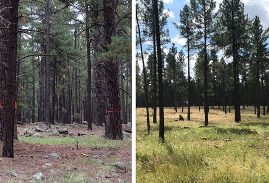 Two pieces of forest land near Flagstaff show what the area looked life before thinning (left) and after.