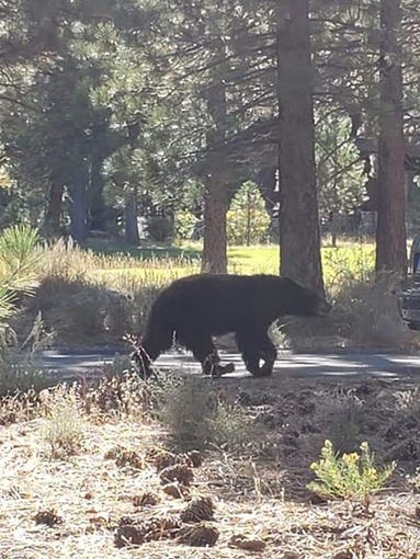 A curious bear searches for food in Truckee, California on Tuesday, Sept. 17, 2019.