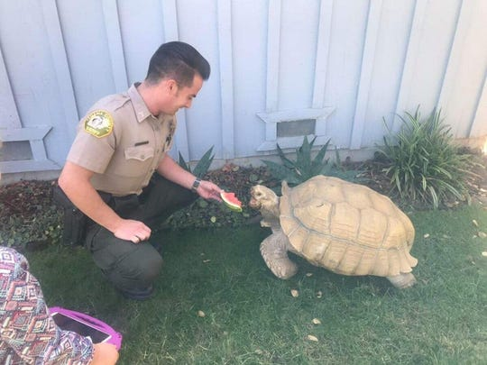 "Tehama County Sheriff's Deputy Dustin Maria busts out some watermelon to tempt 200-pound ""Dino"" to come home."
