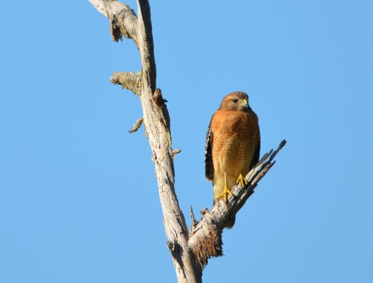 The red shouldered hawk's distinctive color pattern includes reddish barring on the breast feather and shoulder region with black and white bands on the wings and tail.
