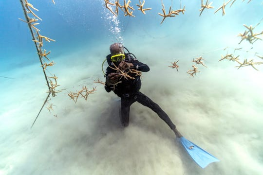 Diver Everton Simpson untangles lines of staghorn coral at a coral nursery inside the White River Fish Sanctuary on Monday, Feb. 11, 2019, in Ocho Rios, Jamaica. On the ocean floor, small coral fragments dangle from suspended ropes, like socks hung on a laundry line. Divers tend to this underwater nursery as gardeners mind a flower bed, slowly and painstakingly plucking off snails and fireworms that feast on immature coral.