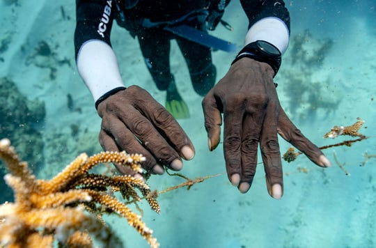 Diver Lenford DaCosta tends to lines of staghorn coral growing at an underwater nursery inside the Oracabessa Fish Sanctuary on Feb. 12, 2019, in Oracabessa, Jamaica.