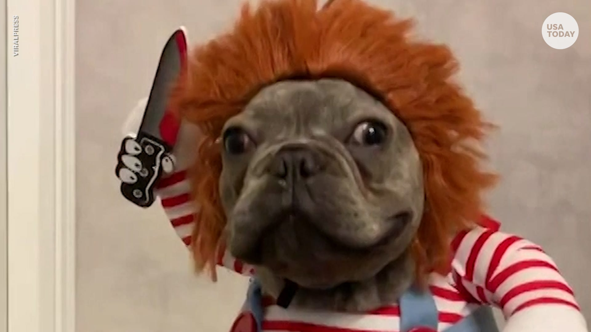 French Bulldog Wins Halloween With Chucky Costume
