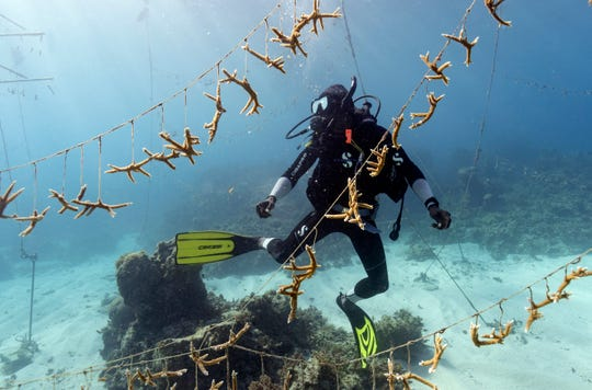 Diver Lenford DaCosta cleans up lines of staghorn coral at a nursery inside the Oracabessa Fish Sanctuary Tuesday, Feb. 12, 2019, in Oracabessa, Jamaica.