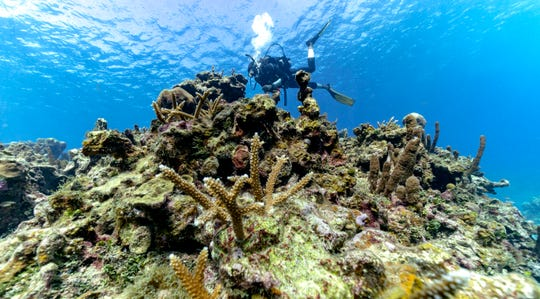 Diver Lenford DaCosta plants staghorn coral, from an underwater nursery, inside the Oracabessa Fish Sanctuary on Feb. 12, 2019, in Oracabessa, Jamaica.