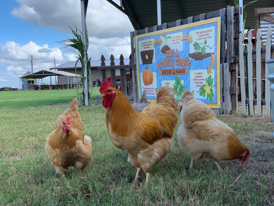 Rockin' K Farms will feature chickens and goats during their fall festival this season in Robstown.