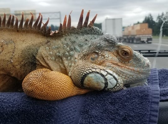 Brahm, a South American orange iguana, went missing at the Des Moines Renaissance Faire at Sleepy Hollow Sports Park on September 13. A search party to look for him has been organized for