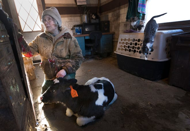 Sue Spaulding is shown with a 3-week-old calf being kept in the office where it is warm because it has been having some health issues Thursday, Jan. 10, 2019, on their farm in Shell Lake, Wis.