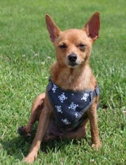 Stubby is a 7-year-old Chihuahua / Minature Pinscher mix witha ton of personality wrapped up in a small package.