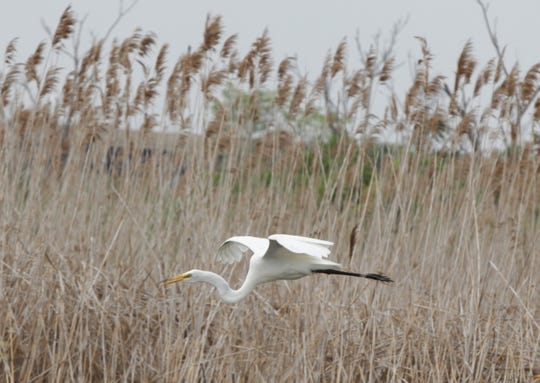 An egret in the Meadowlands