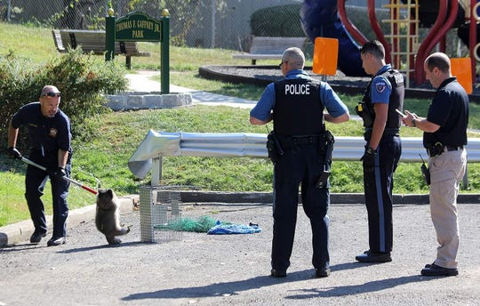 Police corral a raccoon that attacked several people in Maywood Sept. 19, 2019.