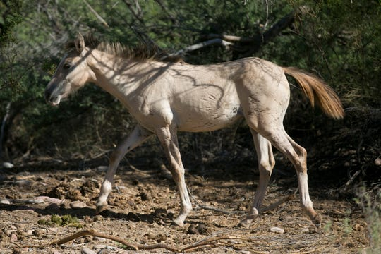 Bands of wild horses search for food and shade along the salt river on September 12, 2019 in the Tonto National Forest, Ariz.