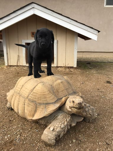 Dino the tortoise lives in Red Bluff