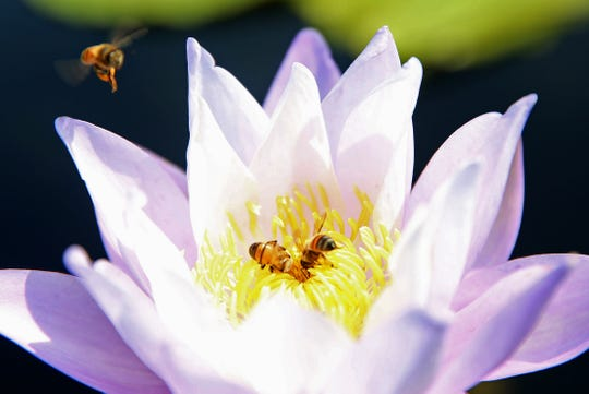 Bees pollinate a flower at the International Waterlily Collection on Friday, Sept. 20, 2019.