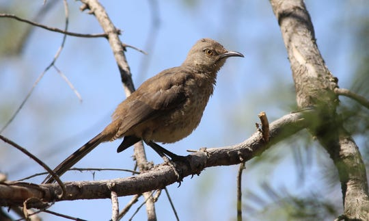 Prickly Pear cactus fruits, known as tunas, are a favorite food of the curve-billed thrasher.