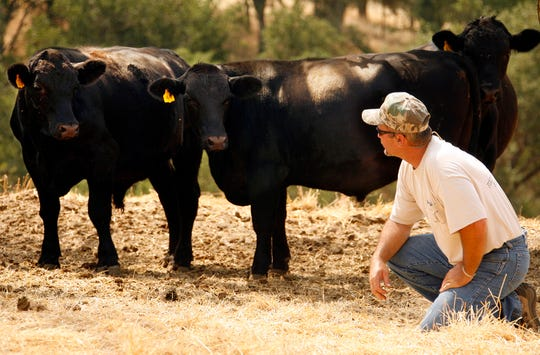 Norman Nick inspects grass-fed cattle at the Nick Ranch on July 25, 2006, near Santa Margrita, Calif.