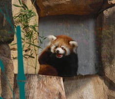 The Milwaukee County Zoo debuts secondred pandacub, Kiki, born in June. (Sept. 20)