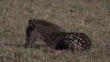 A newborn polka-dotted zebra foal is spotted in Kenya's Maasai Mara National reserve.
