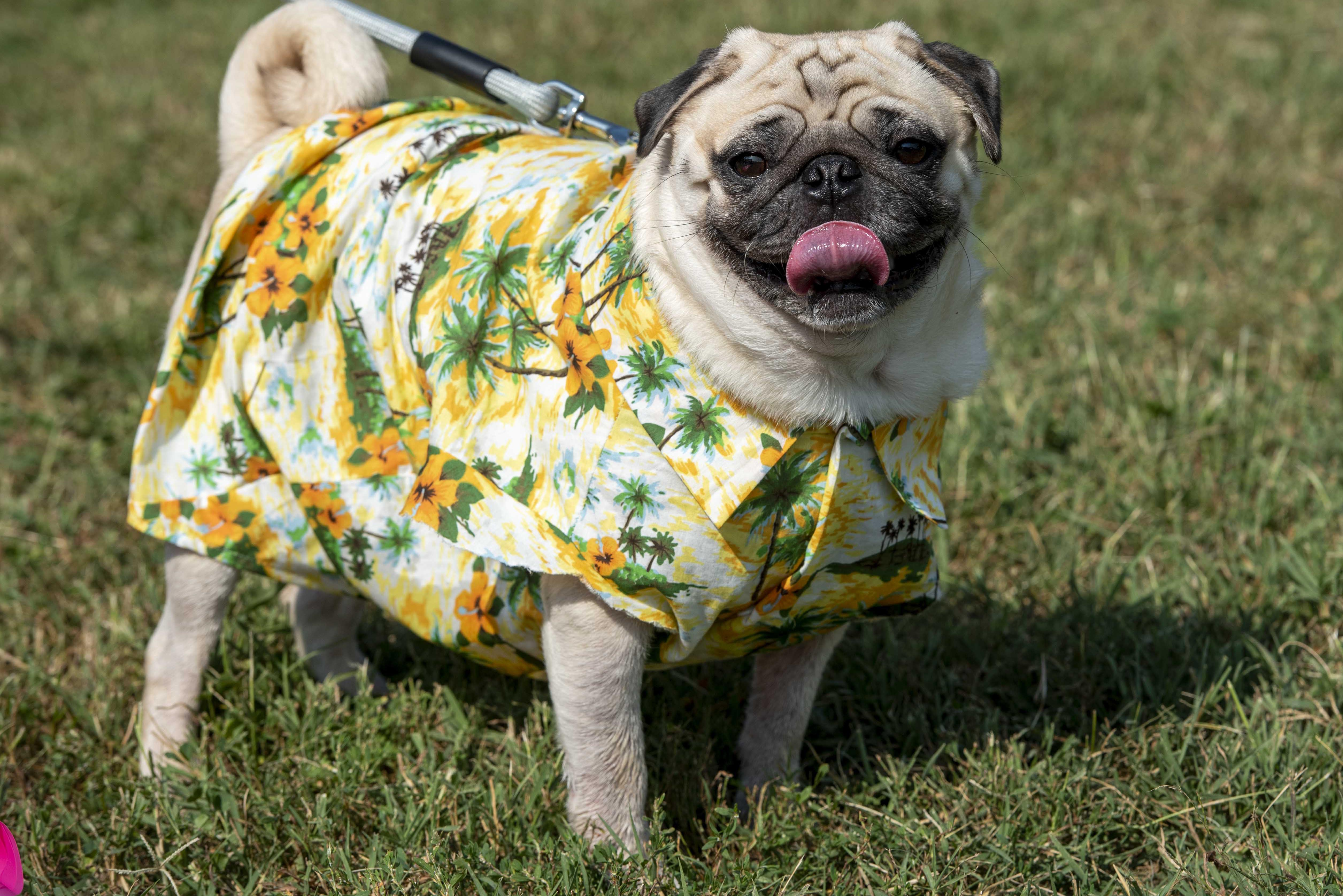 Photos: Wastin' away again at PugFest 2019