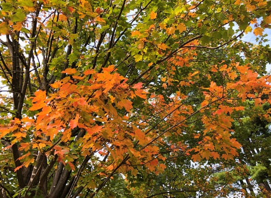 A maple tree in South Burlington beginning to show its fall colors on Sunday, Sept. 22 2019.