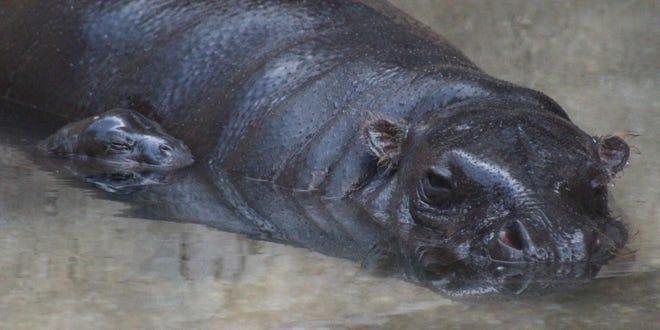 A pygmy hippopotamus has been born at the Montgomery Zoo.