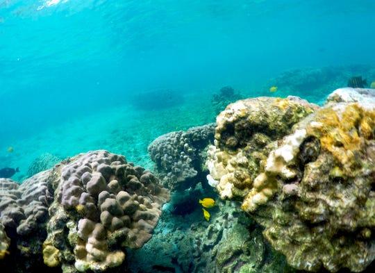 Bleaching coral in Kahala'u Bay in Kailua-Kona, Hawaii.