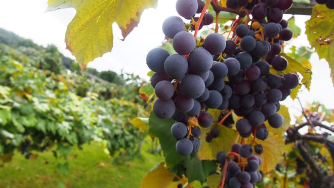 The grapes at H. Horner Vineyard are  ready for harvest. The public will be welcome to come and pick starting at 10 a.m. on Monday. They ask for a $2 donation per pound to benefit Lou Gehrig's disease.