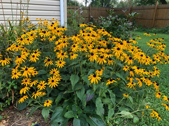 The black-eyed susans/rudbeckia in my backyard are still blooming well in early fall.