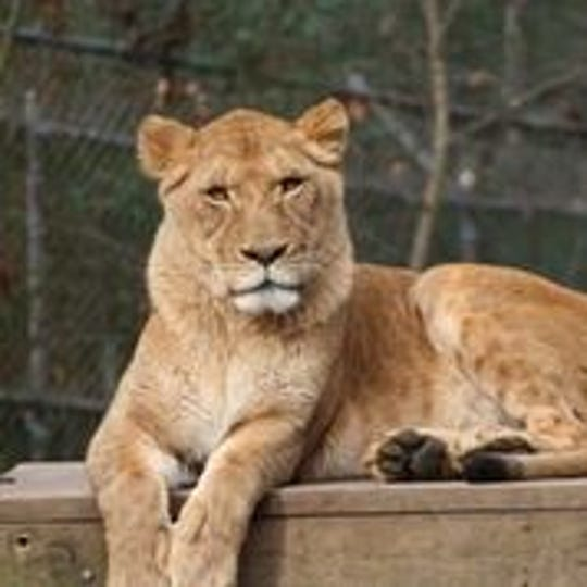 Zoo Knoxville lioness Elsa has died at age 13.