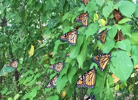 Monarch butterflies by the hundreds roosted in trees in Lafayette's Murdock Park on Sunday, Sept. 15, 2019, during an annual migration south to Mexico. Purdue entomologists say monarchs migrate each year to Mexico for the winter, but where they roost changes from year to year.